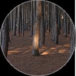 海岸松の樹皮エキス